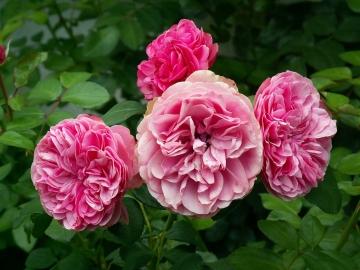 medium_rosesaout06.jpg
